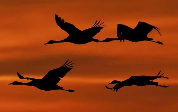 cranes-in-sunset-683